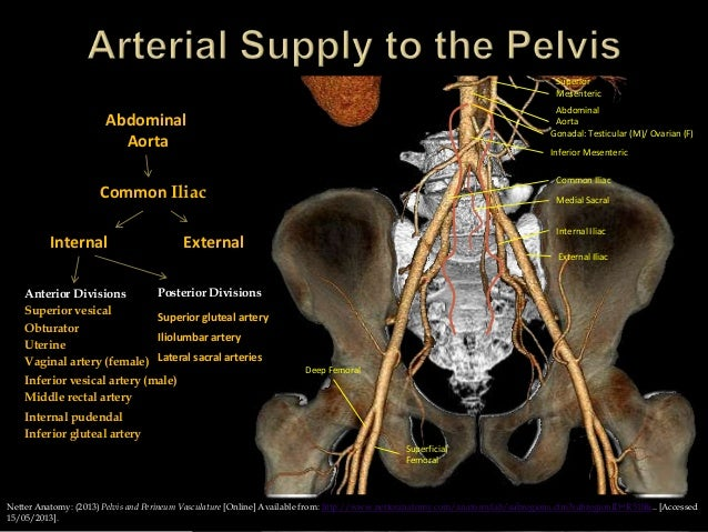 Anatomy of the pelvis and hip