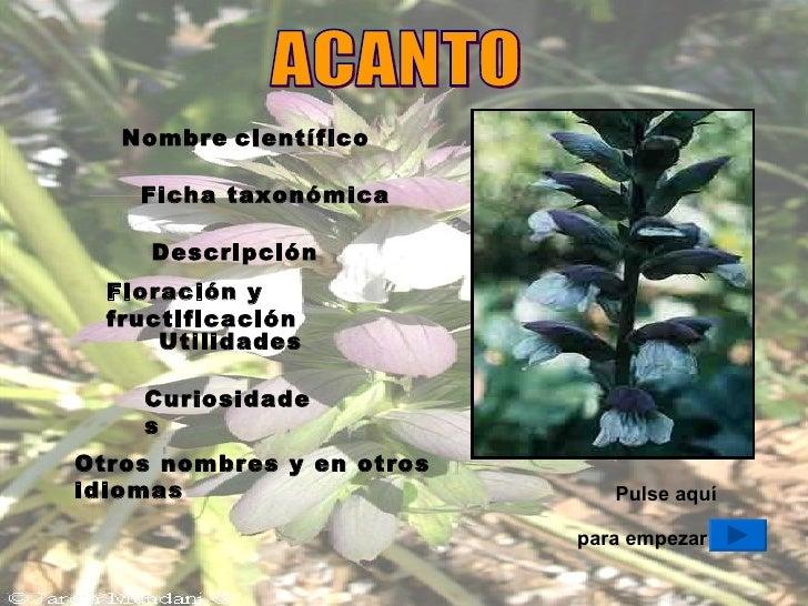 ACANTO Pulse aquí para empezar Nombre   científico Ficha taxonómica Descripción Floración y fructificación Utilidades Curi...