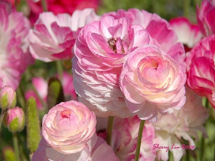 A Collection Of Ranunculus Flowers