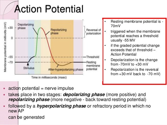 essay about action potential phases