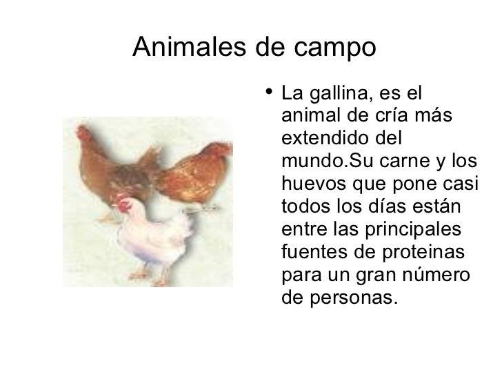 Animales de campo <ul><li>La gallina, es el animal de cría más extendido del mundo.Su carne y los huevos que pone casi tod...