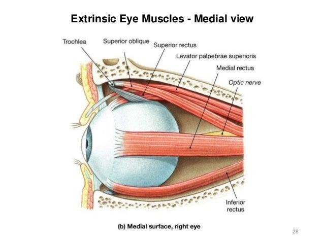 Activity 8 Spinal Cord Eye Ear 2