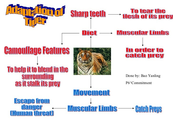 Tigers adaptations related keywords amp suggestions tigers adaptations