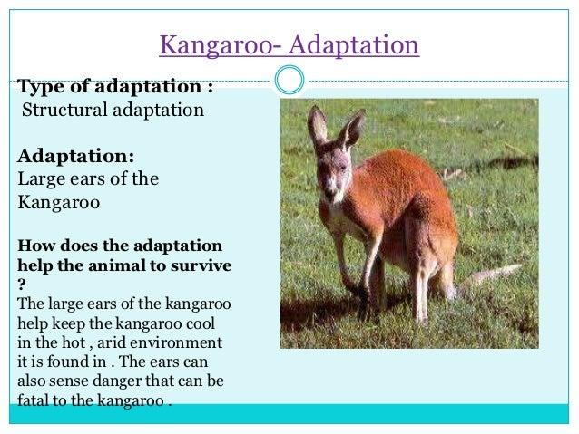 an analysis of the kangaroo environmental adaptation in australia The wrc has also provided non-invasive sample analysis for captive wombats from australia zoo and  tree kangaroo koala  • adaptation • environmental.