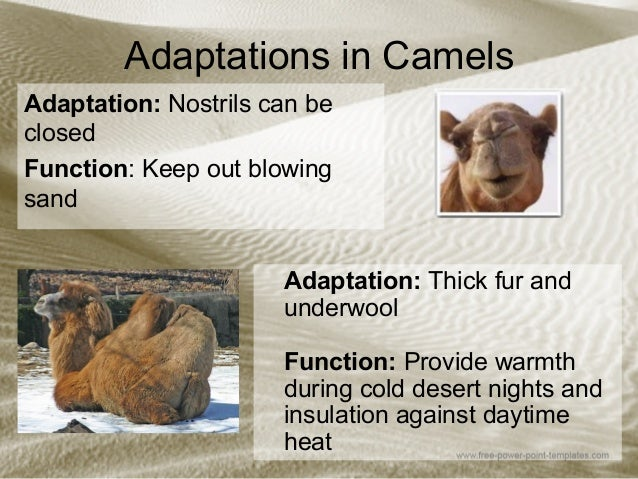 camels adaptations to extreme environments Adaptations in camels to suit their the ground thus creating a snowshoe effect and preventing the camel from sinking into the sand: adaptations to a.