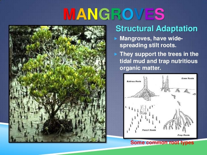 characteristics and importance of mangrove ecosystem Why are mangrove forest important mangroves provide valuable nursery areas for juvenile fish and crustaceans and are also important source of nutrients for the adjacent marine ecosystem.