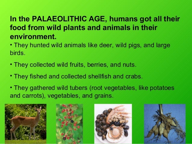 In the PALAEOLITHIC AGE, humans got all theirfood from wild plants and animals in theirenvironment.• They hunted wild anim...