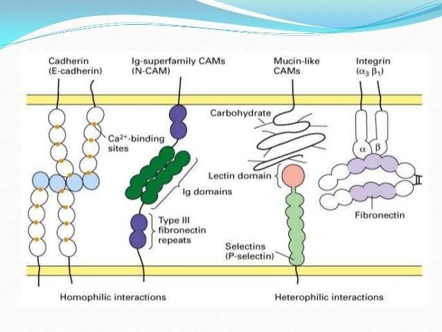 Basement Membrane Extracellular Matrix