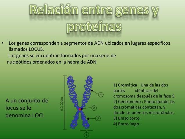 • Los genes corresponden a segmentos de ADN ubicados en lugares específicos llamados LOCUS. A un conjunto de locus se le d...