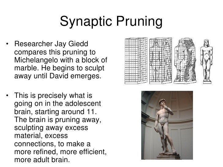 how to study synaptic pruning