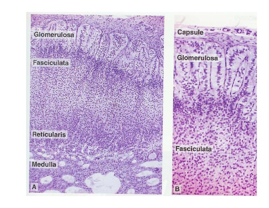 mineralocorticoid activity of corticosteroids