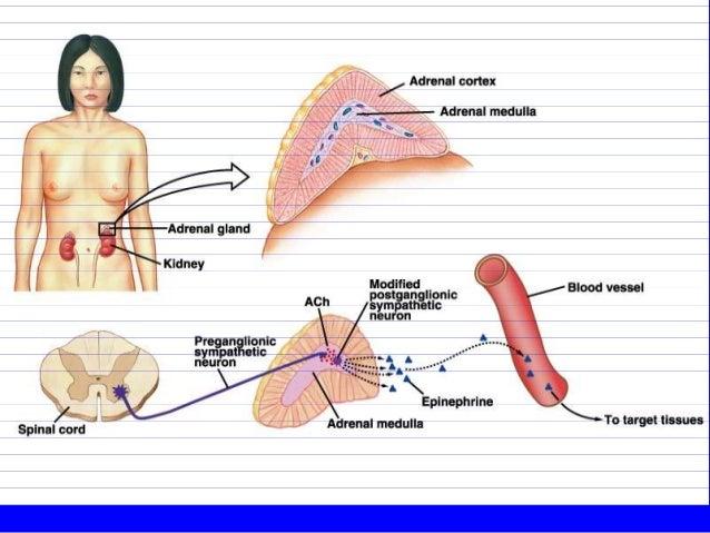 what gland secretes testosterone