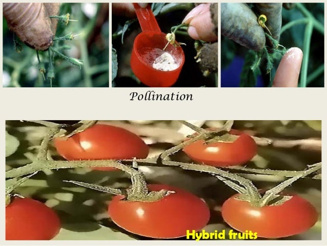 anthesis in tomato