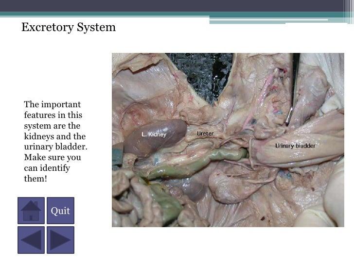 Fetal pig urinary bladder diagram