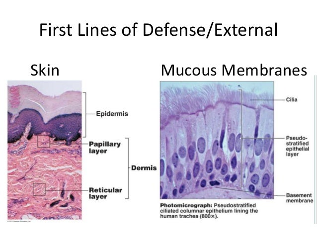 First Lines of Defense/External Skin Mucous Membranes
