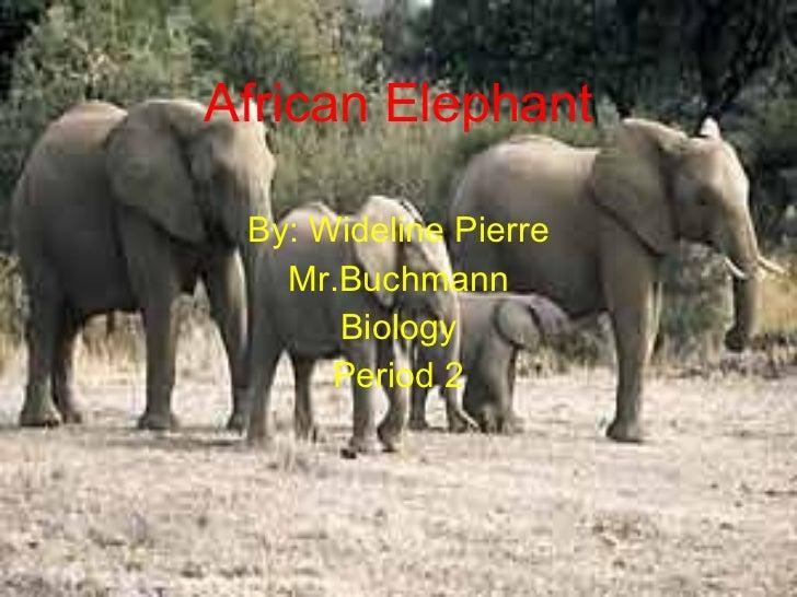 African elephant wideline pierre