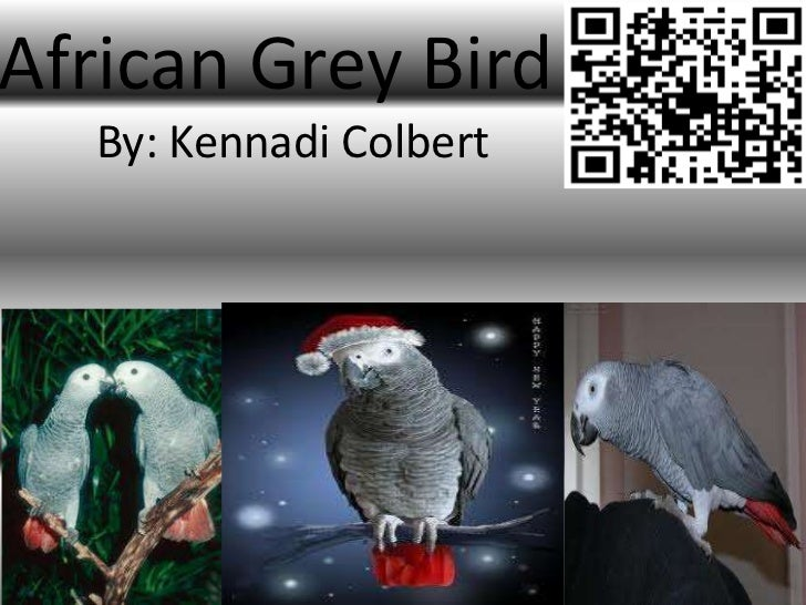 African Grey Bird  By: Kennadi Colbert