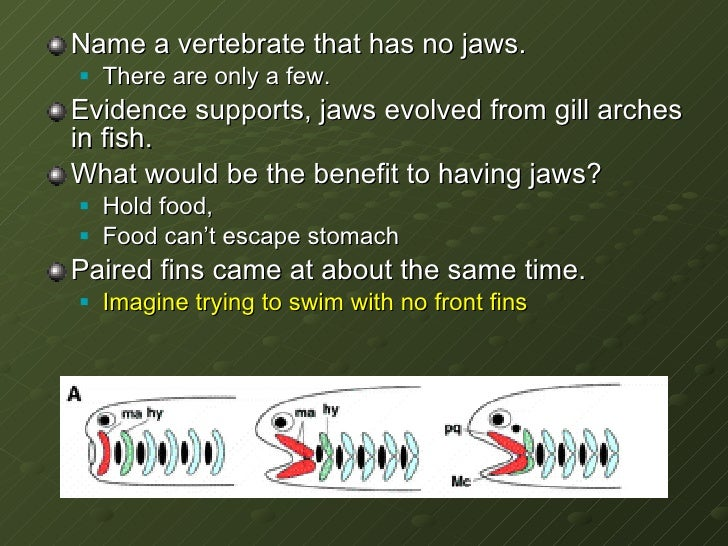 <ul><li>Name a vertebrate that has no jaws. </li></ul><ul><ul><li>There are only a few.  </li></ul></ul><ul><li>Evidence s...
