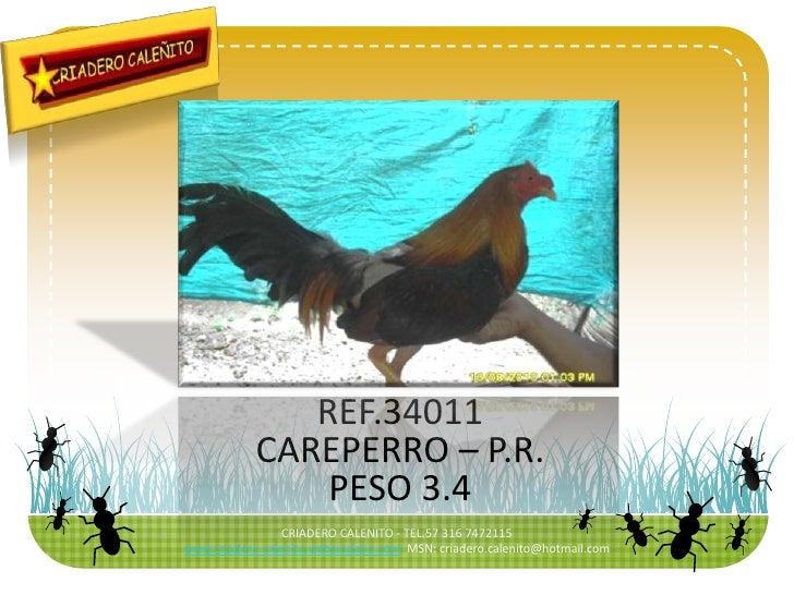 CRIADERO CALENITO - TEL.57 316 7472115<br />www.criadero.calenito.webcindario.com  MSN: criadero.calenito@hotmail.com<br /...
