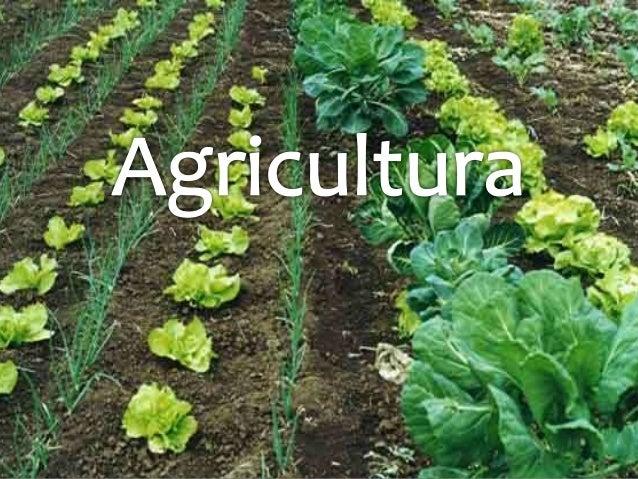 La agricultura es el conjunto de técnicas y conocimientos para cultivar la tierra y la parte del sector primario que se de...
