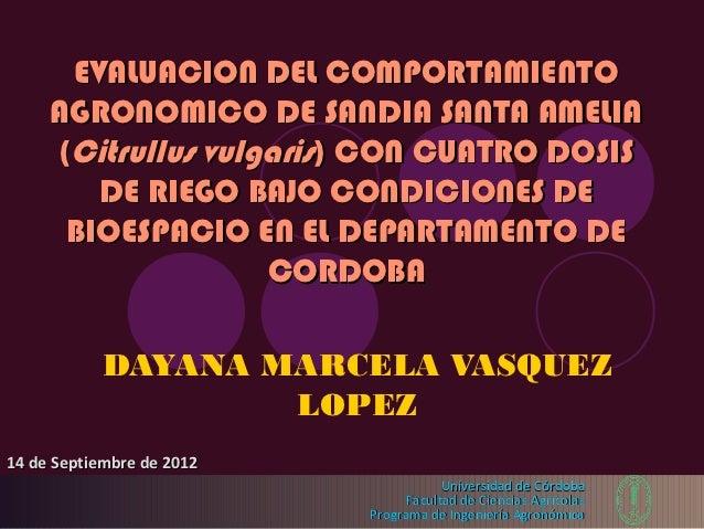 EVALUACION DEL COMPORTAMIENTO     AGRONOMICO DE SANDIA SANTA AMELIA     (Citrullus vulgaris) CON CUATRO DOSIS        DE RI...