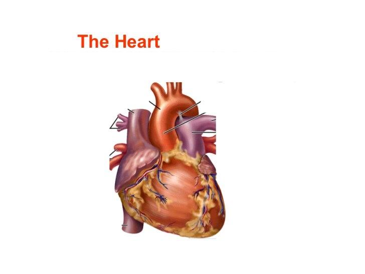 A heart physiology