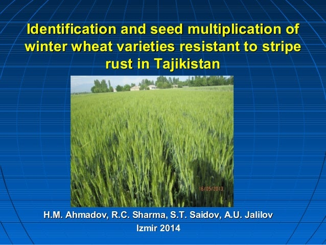 Identification and seed multiplication ofIdentification and seed multiplication of winter wheat varieties resistant towint...