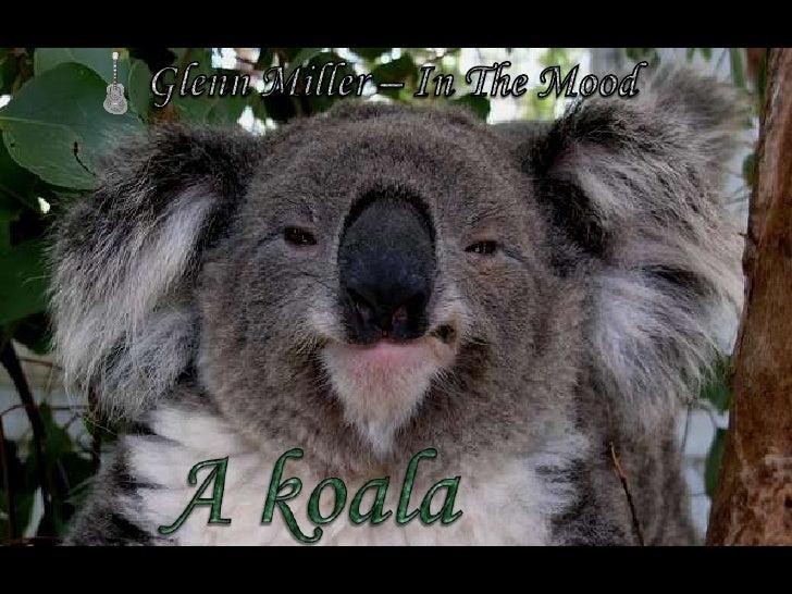 A koala (The Coala)