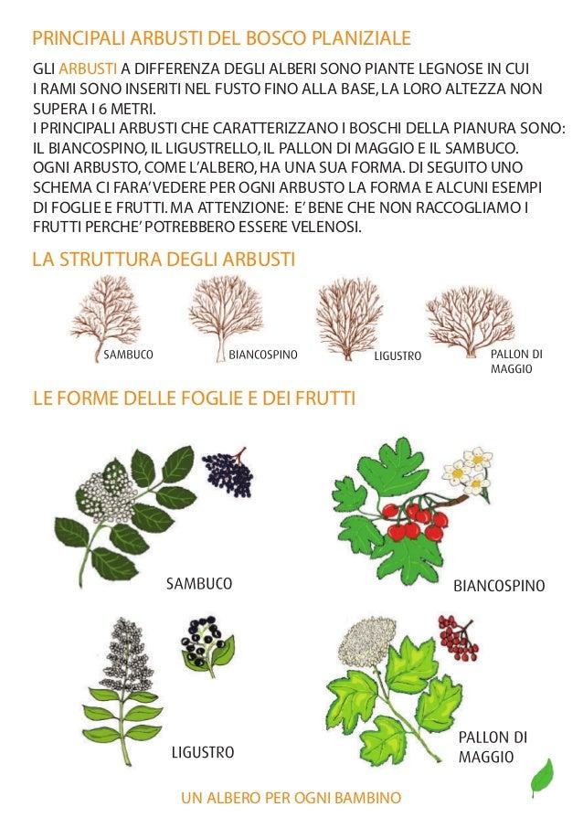 Boschi di mestre un albero per ogni bambino edizione 2015 for Nomi di arbusti e cespugli