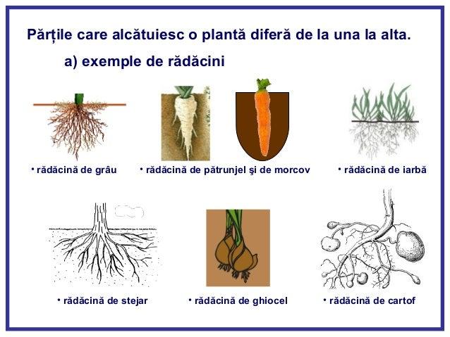 Alcatuirea Plante 638 Cb Fruct