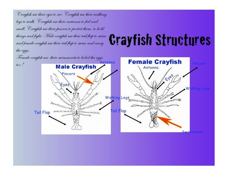 Aleena crayfish