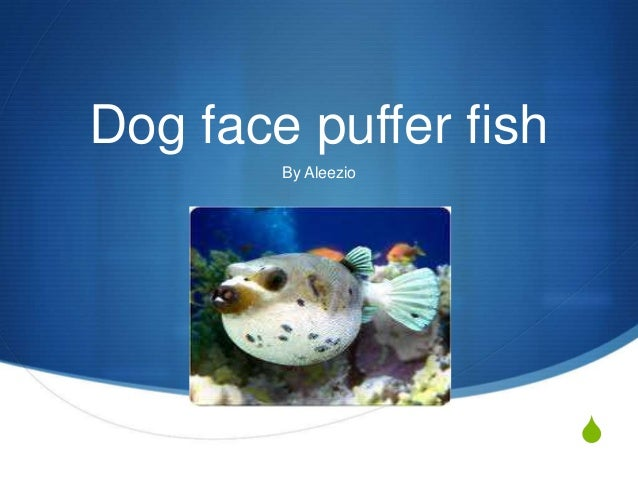 Aleezio report for Dog face puffer fish