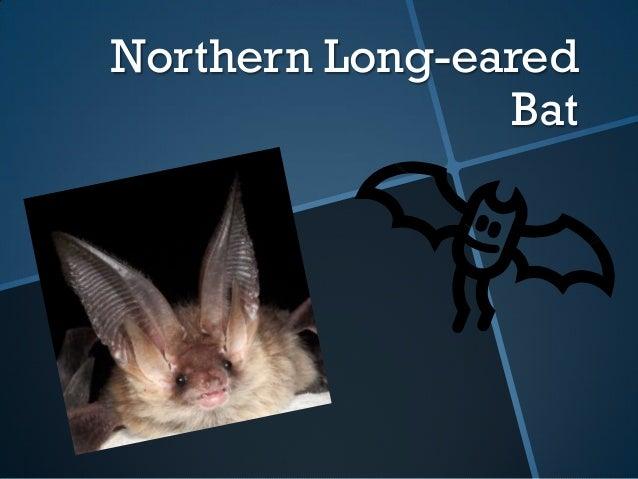 Allison northern long eared bat