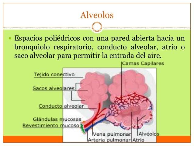 Alveolos  Espacios poliédricos con una pared abierta hacia un  bronquiolo respiratorio, conducto alveolar, atrio o saco a...