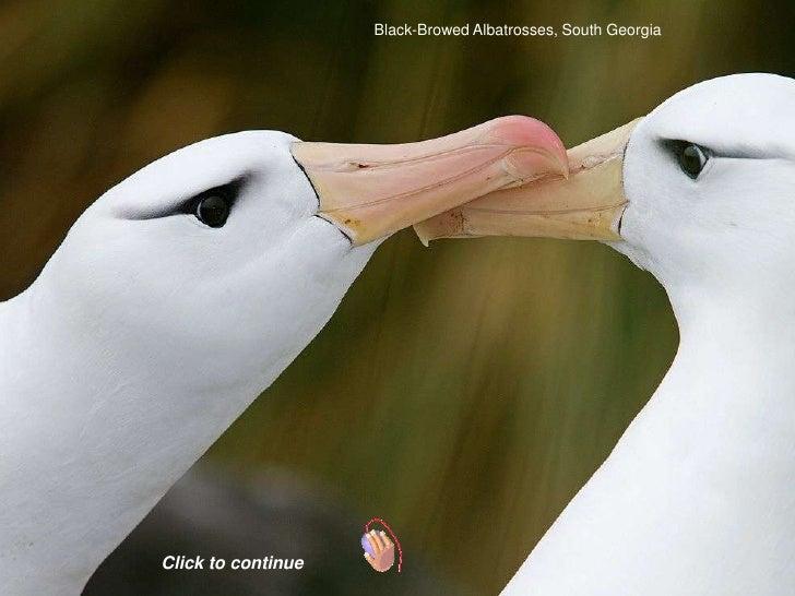 Black-Browed Albatrosses, South GeorgiaClick to continue