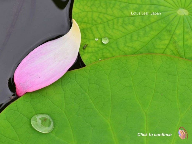 Lotus Leaf, Japan   Click to continue