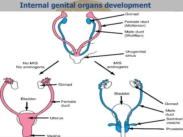 Humans with both genitalia