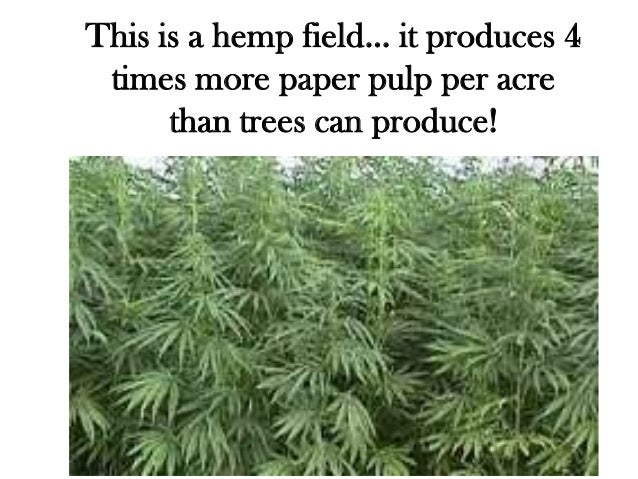 This is a hemp field… it produces 4 times more paper pulp per acre      than trees can produce!