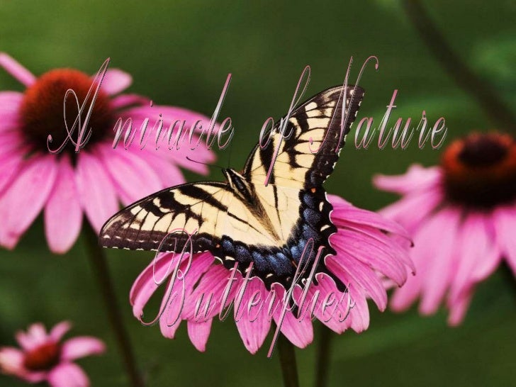 A niracle  of Nature  Butterflies