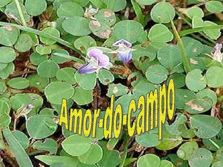 Amor Do Campo