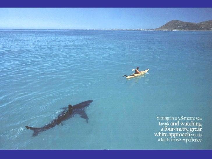 Amour D Un Requin Blanc