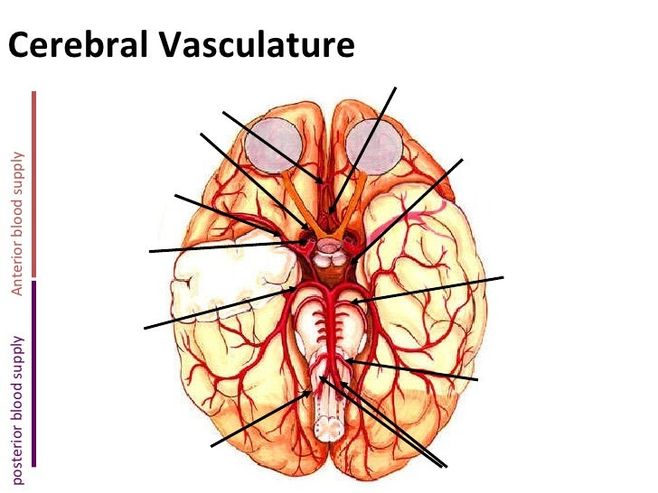 Cerebral Vasculature Anterior blood supply posterior blood supply