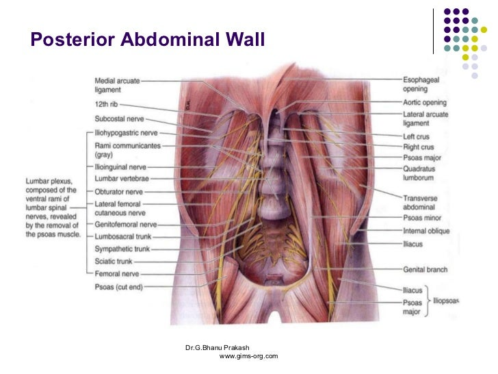 Abdomen and pelvis anatomy