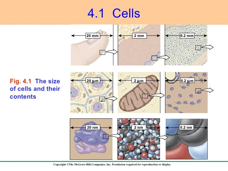 4.1  Cells Fig. 4.1  The size of cells and their contents 20 nm 20   m 20 mm 2 mm 0.2 mm 2   m 2 nm 0.2 nm 0.2   m