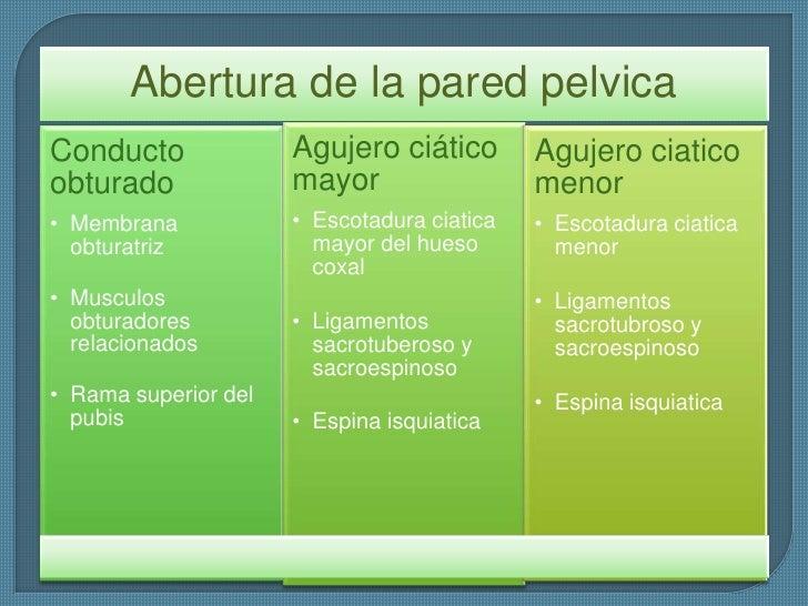 agujeros y musculos de pelvis