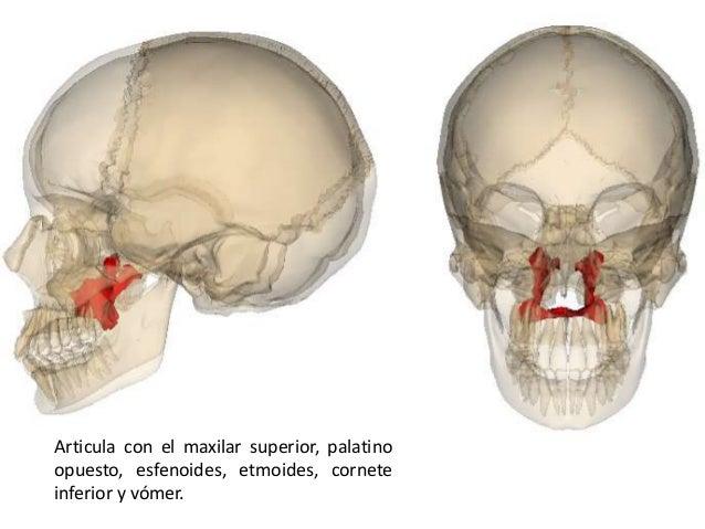 Nasal ala anatomy