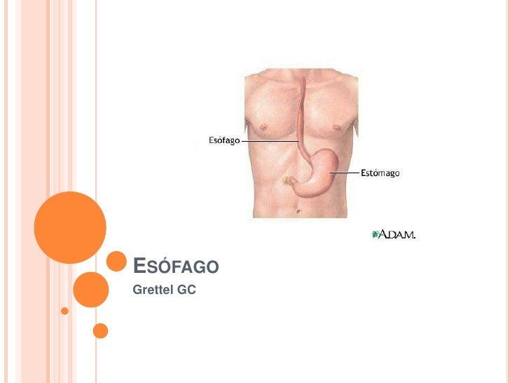 Anatomía de esófago
