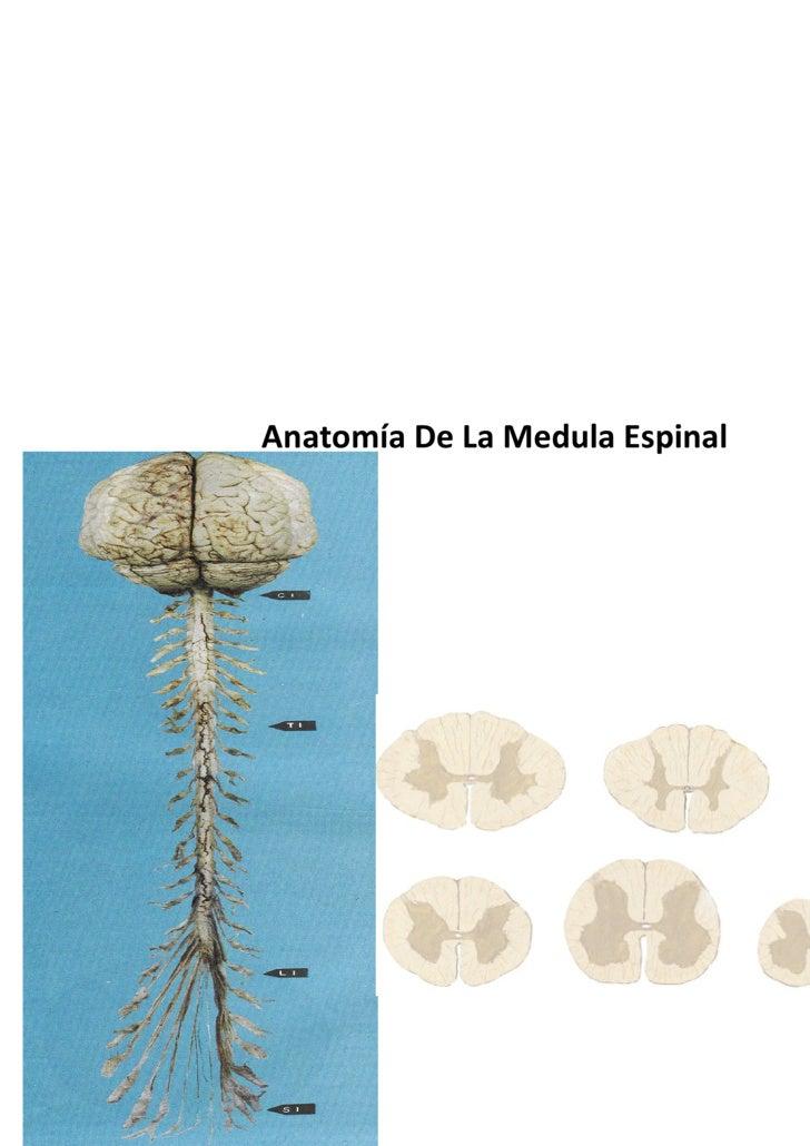 Anatomía De La Medula Espinal