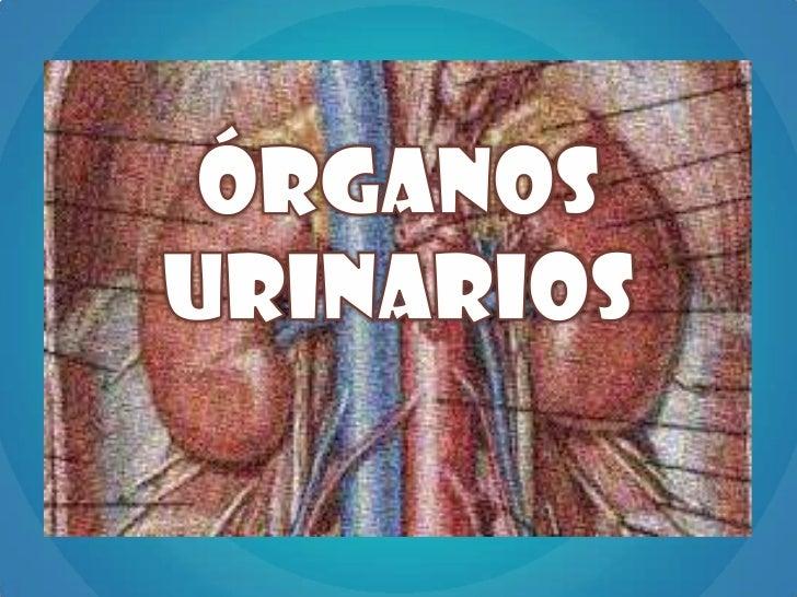 Anatomía de riñón