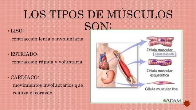 el cuerpo humano y sus musculos: